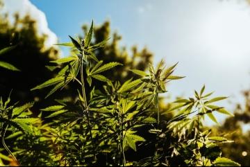 Fresh agricultural hemp grows in the countryside